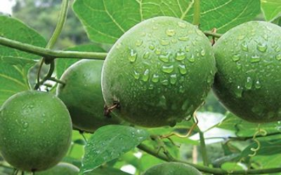 [Ingredients] Monk Fruit Extract (羅漢果, 罗汉果)