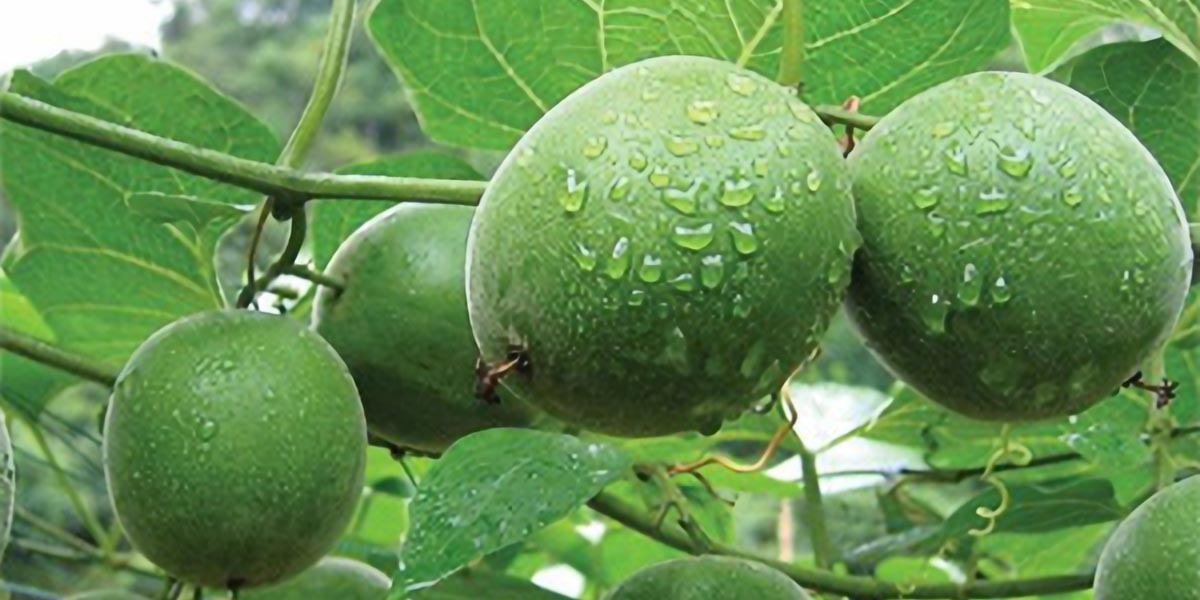 INGREDIENT Profile Monk Fruit Extract FEATURE